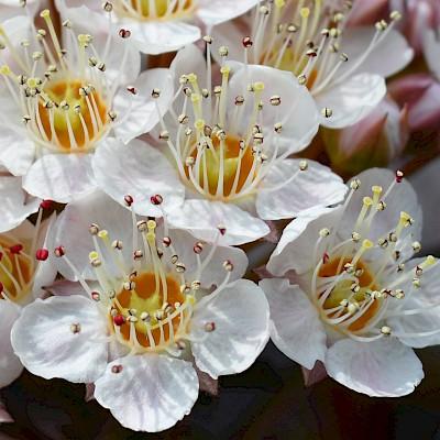 Фото квітки рослини - Пухироплідник калинолистий 'Діаболо'