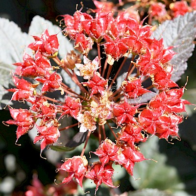 Фото плоду рослини - Пухироплідник калинолистий 'Діаболо'