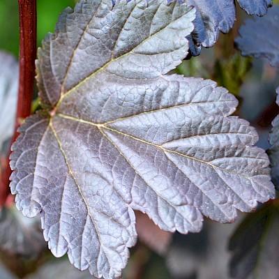 Листки - Пухироплідник калинолистий 'Діаболо'