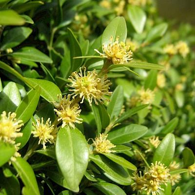 Фото квітки рослини - Самшит вічнозелений