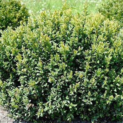 Фото рослини - Самшит вічнозелений