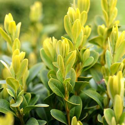 Листки - Самшит вічнозелений