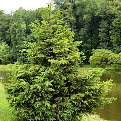 Фото рослини - Ялина звичайна, або я. європейська